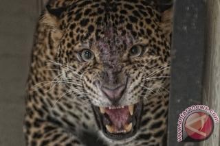 Warga Lumbung Sukarela Serahkan Macan Kumbang ke BKSDA
